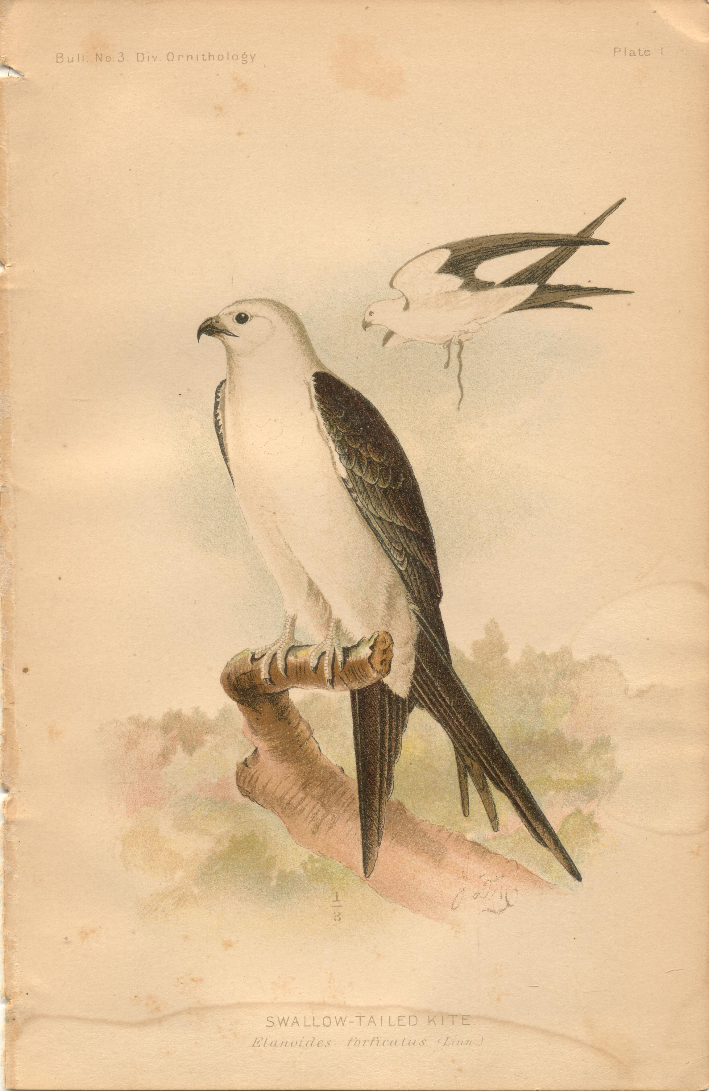 """Image for Swallow-Tailed Kite - single original antique chromolithographed plate from """"The Hawks and Owls of the United States in Their Relation to Agriculture"""