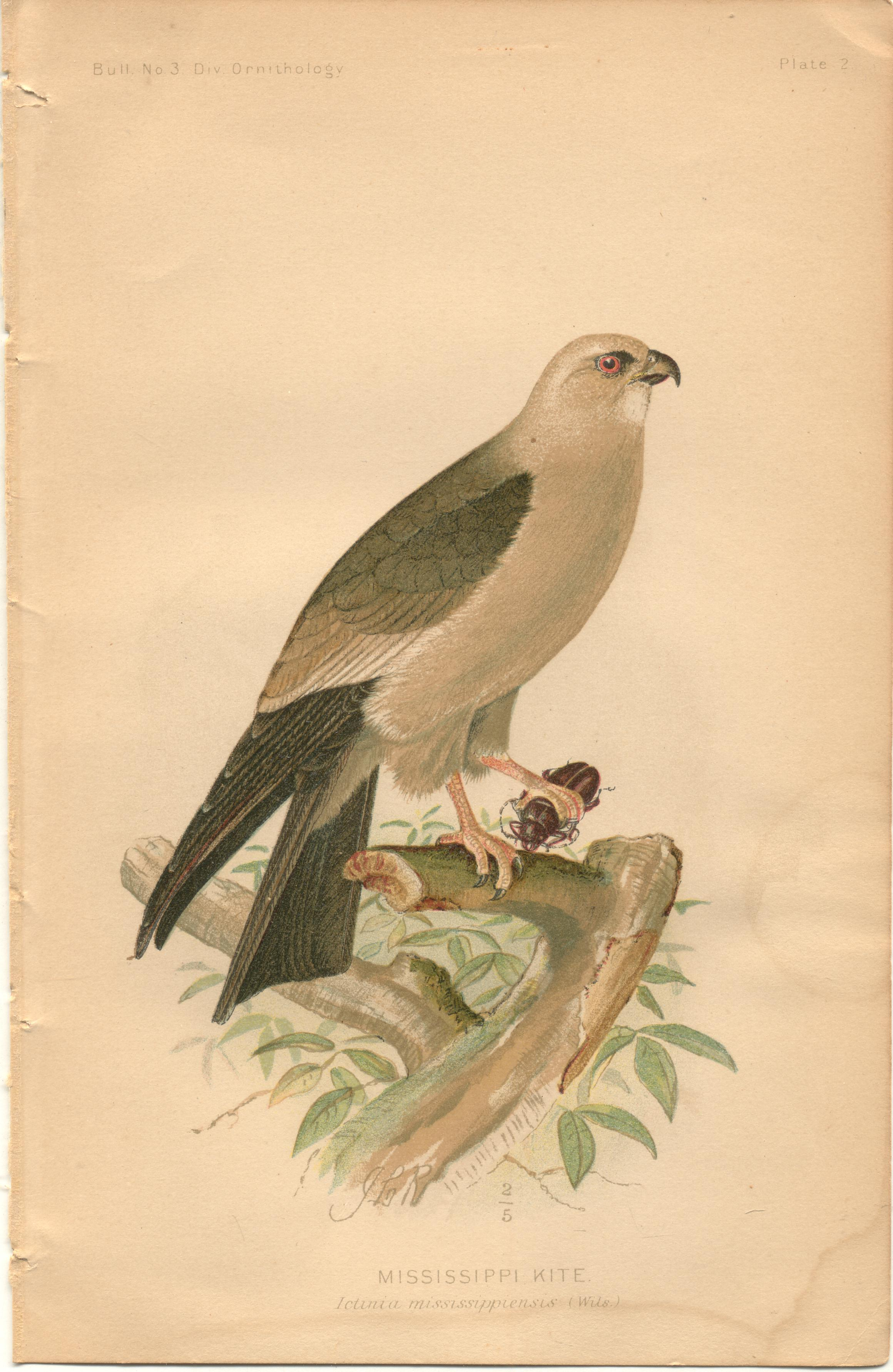 """Image for Mississippi Kite - single original antique chromolithographed plate from """"The Hawks and Owls of the United States in Their Relation to Agriculture"""
