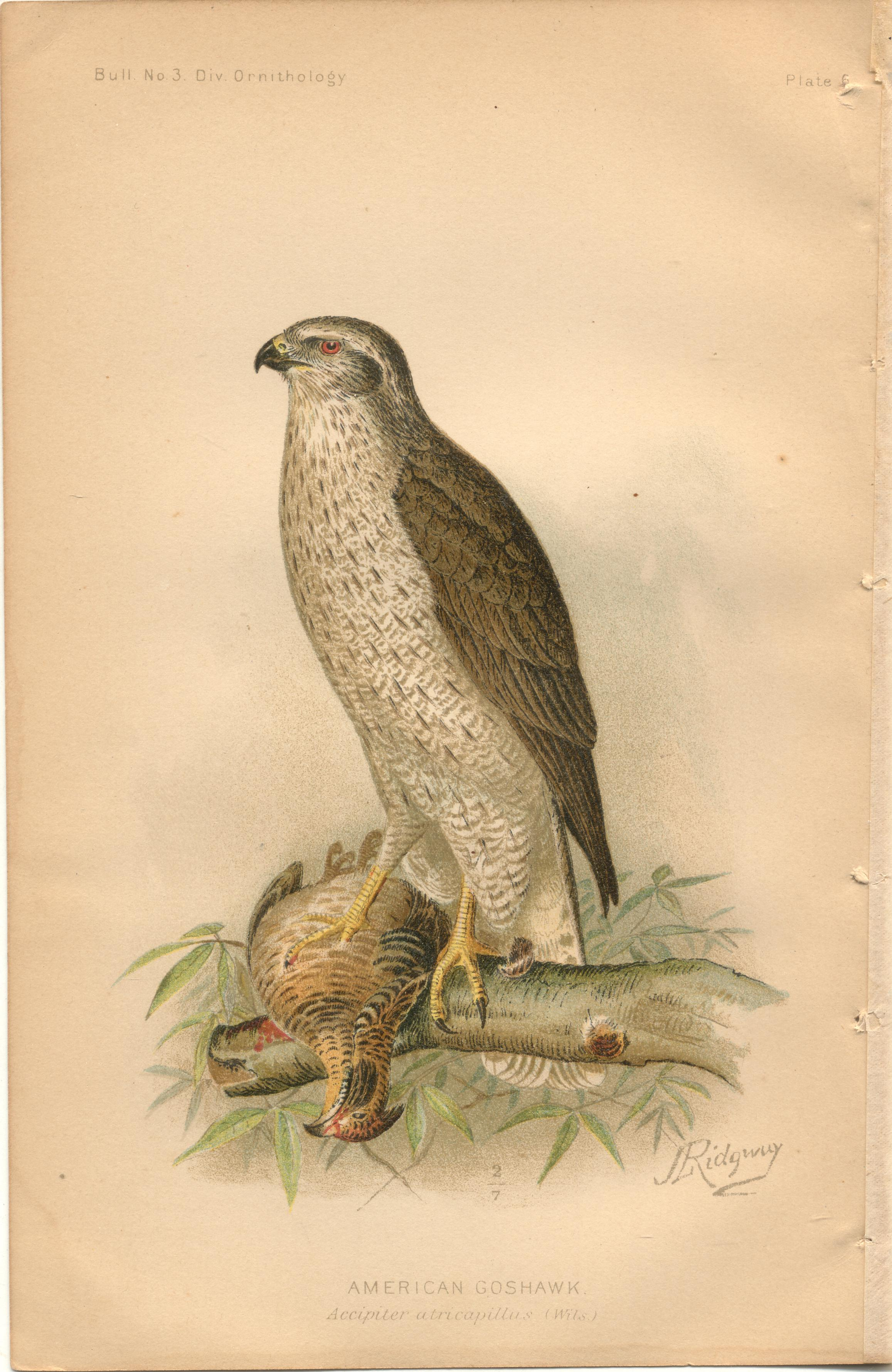 "Image for American Goshawk - single original antique chromolithographed plate from ""The Hawks and Owls of the United States in Their Relation to Agriculture"