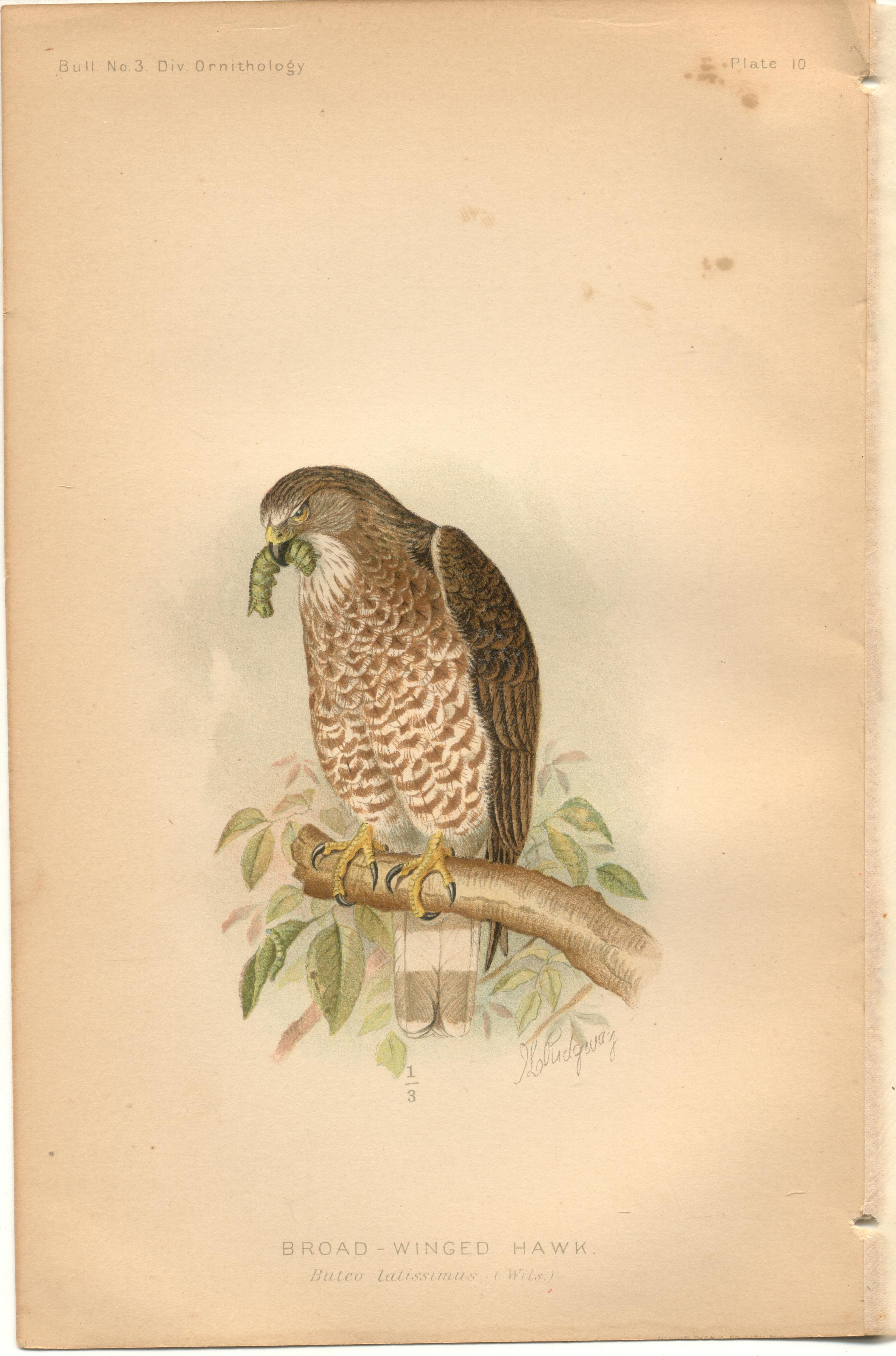 "Image for Broad-Winged Hawk - single original antique chromolithographed plate from ""The Hawks and Owls of the United States in Their Relation to Agriculture"