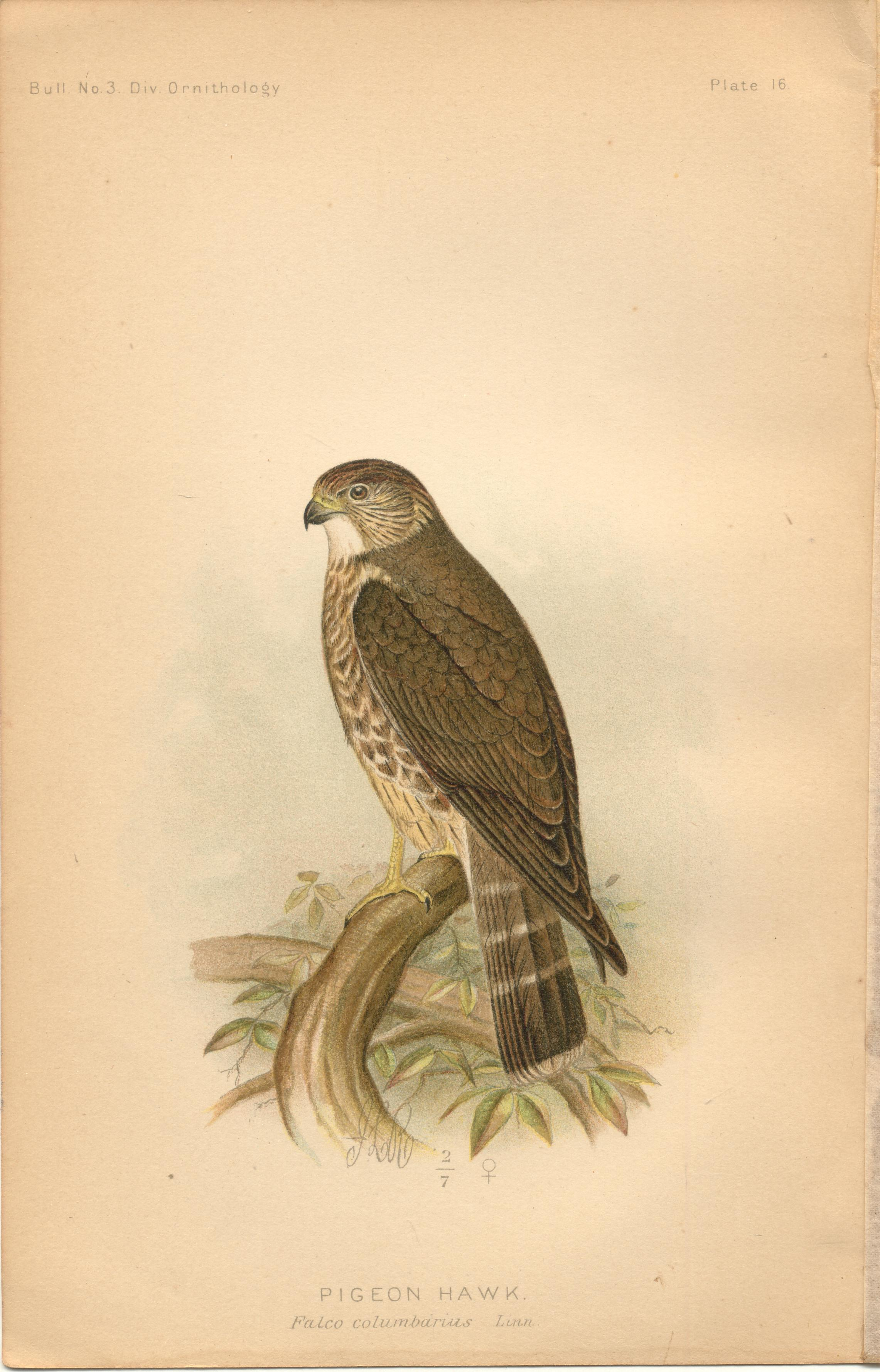 "Image for Pigeon Hawk - single original antique chromolithographed plate from ""The Hawks and Owls of the United States in Their Relation to Agriculture"