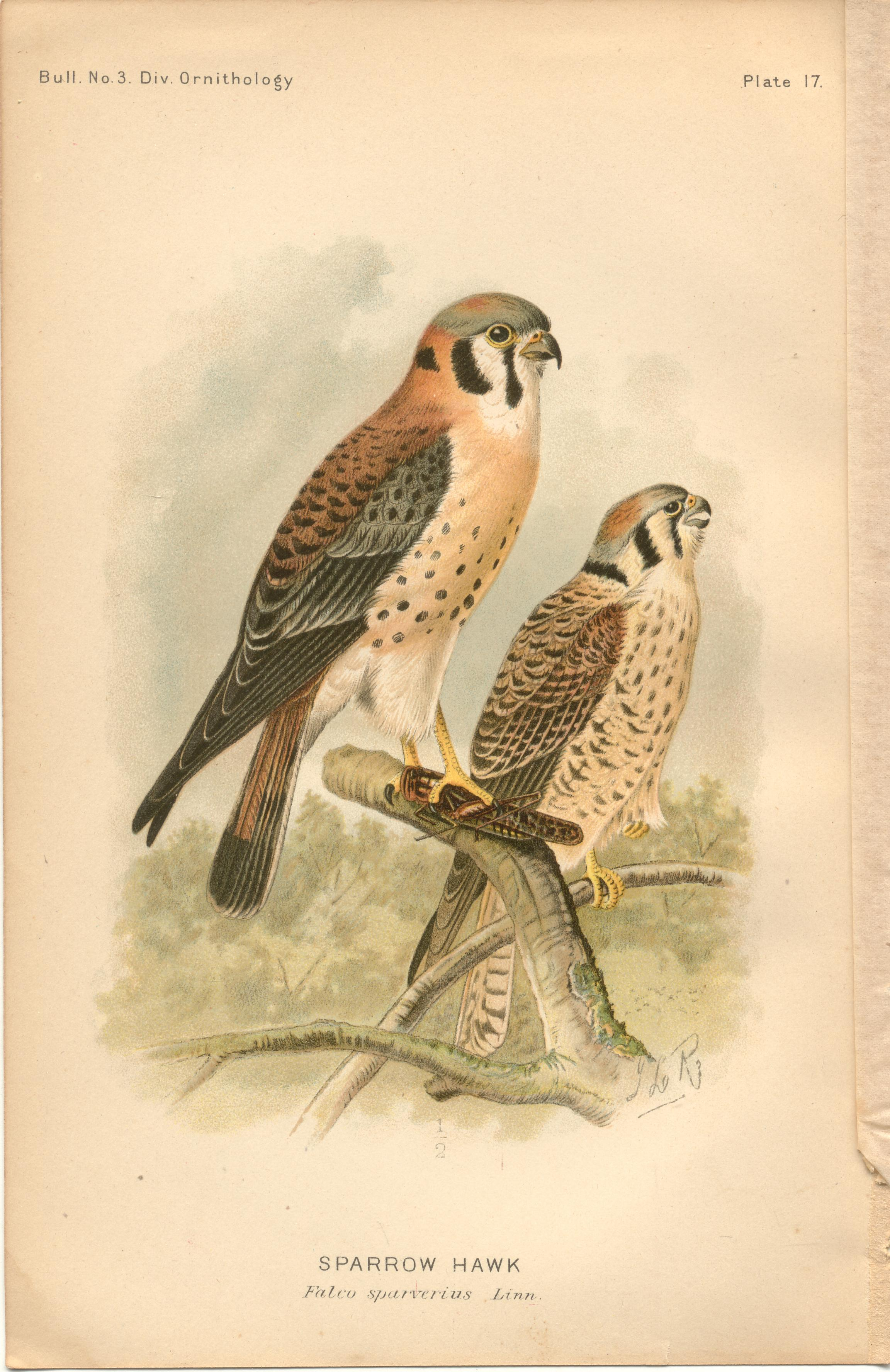 "Image for Sparrow Hawk - single original antique chromolithographed plate from ""The Hawks and Owls of the United States in Their Relation to Agriculture"