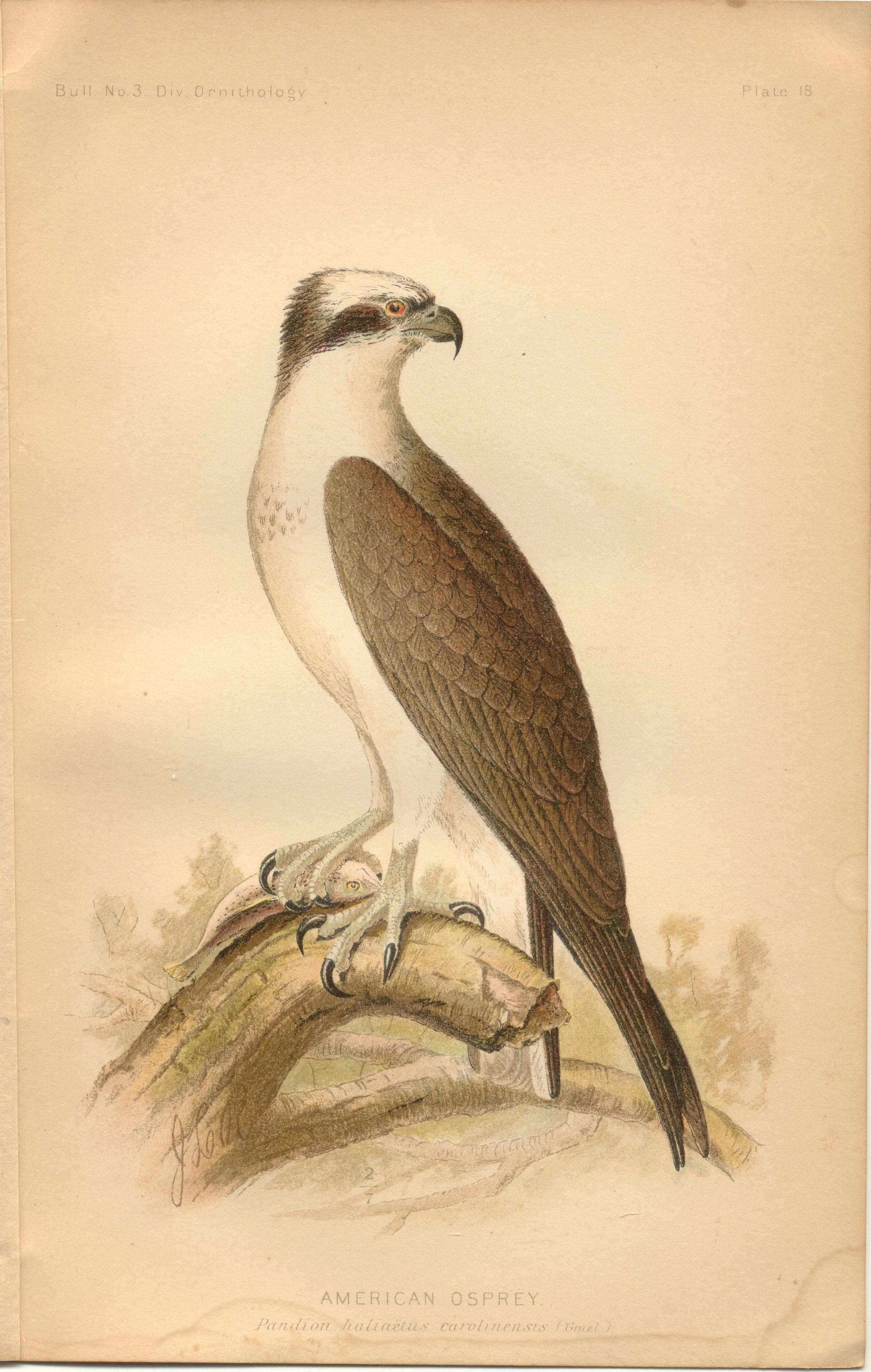 "Image for American Osprey - single original antique chromolithographed plate from ""The Hawks and Owls of the United States in Their Relation to Agriculture"
