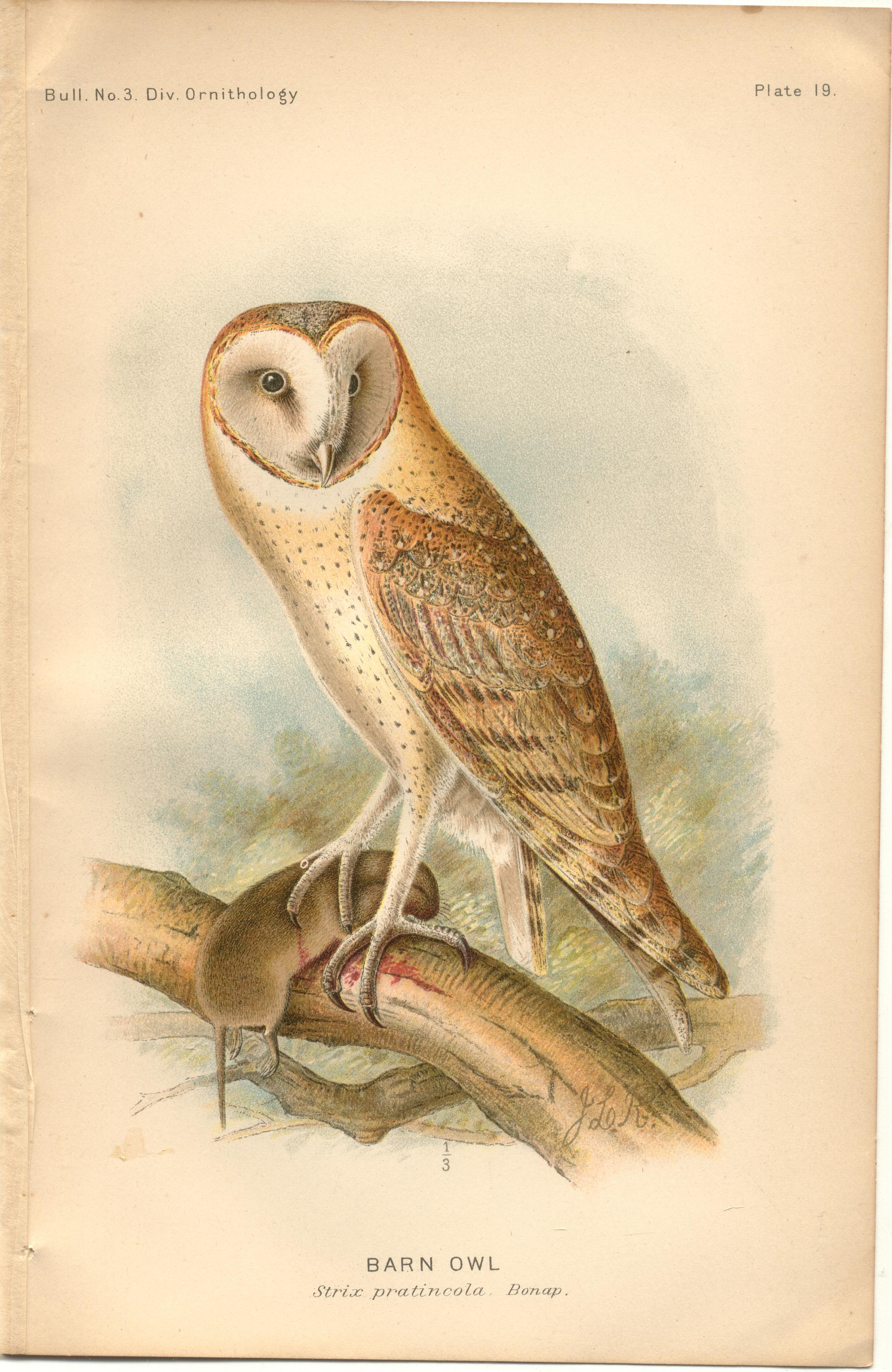 "Image for Barn Owl - single original antique chromolithographed plate from ""The Hawks and Owls of the United States in Their Relation to Agriculture"