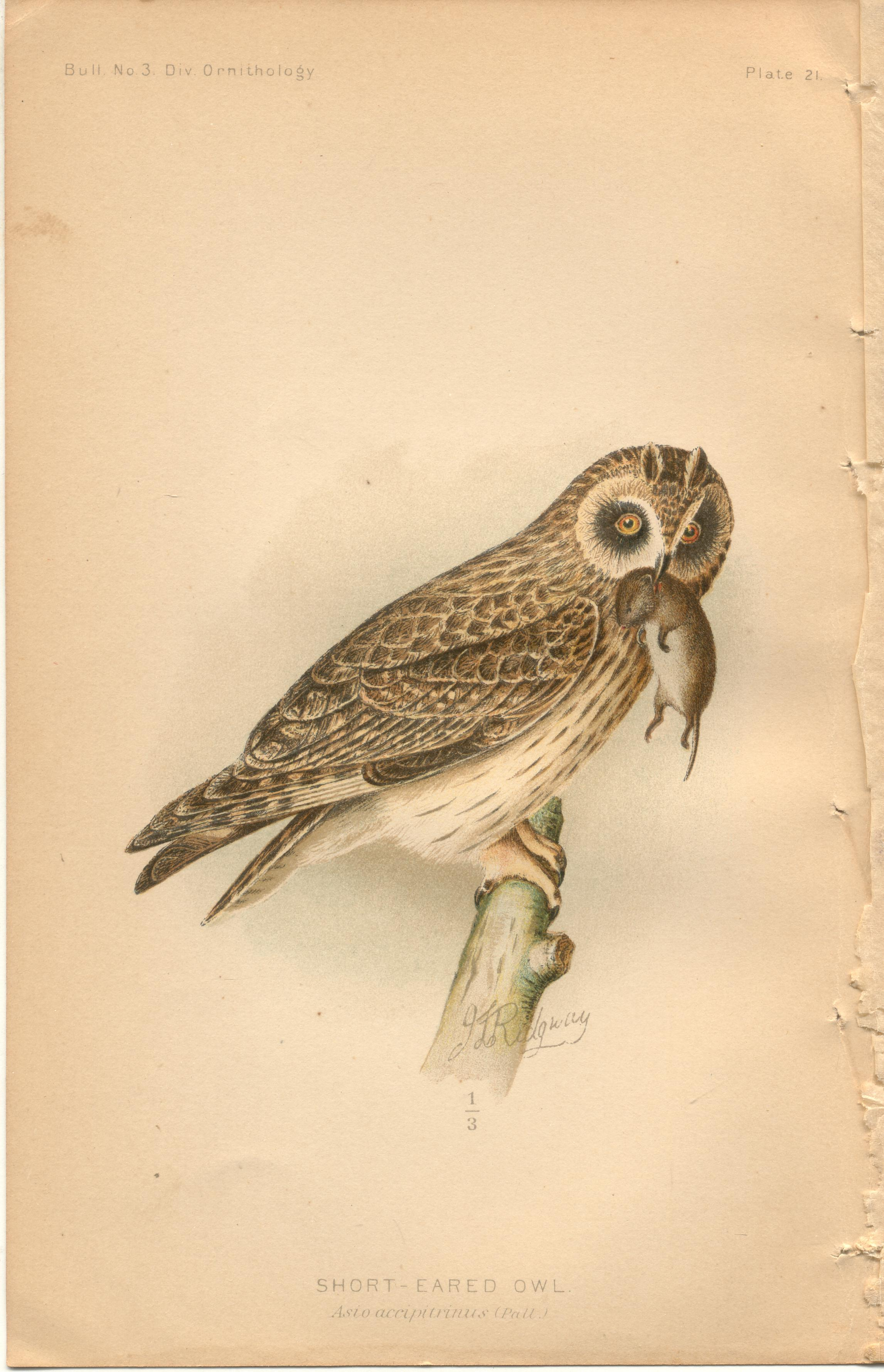 "Image for Short-Eared Owl - single original antique chromolithographed plate from ""The Hawks and Owls of the United States in Their Relation to Agriculture"
