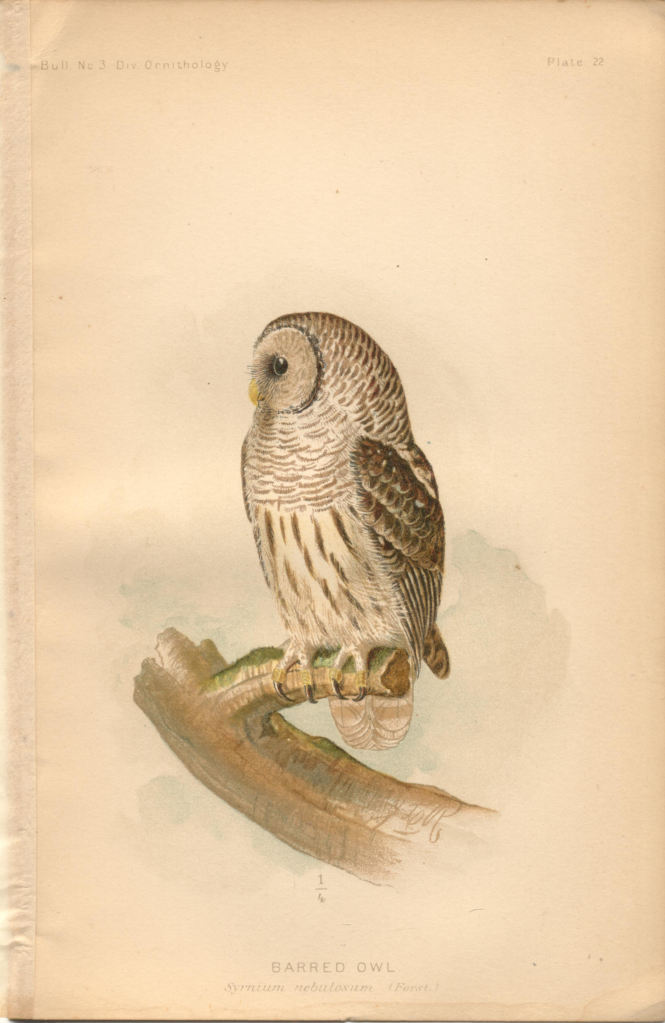 """Image for Barred Owl - single original antique chromolithographed plate from """"The Hawks and Owls of the United States in Their Relation to Agriculture"""