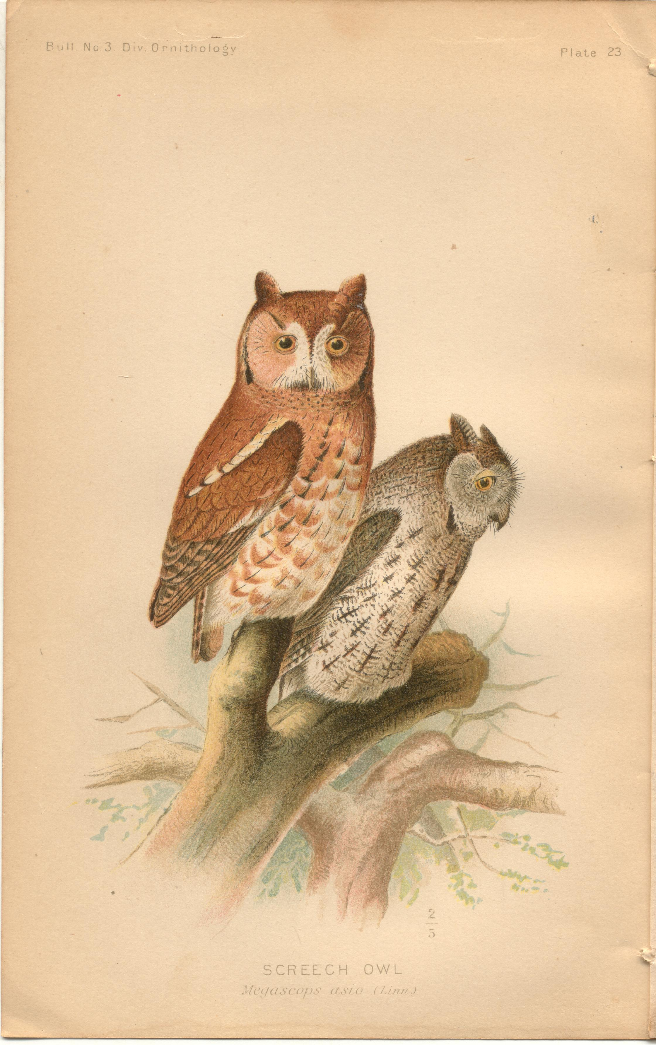 """Image for Screech Owl - single original antique chromolithographed plate from """"The Hawks and Owls of the United States in Their Relation to Agriculture"""
