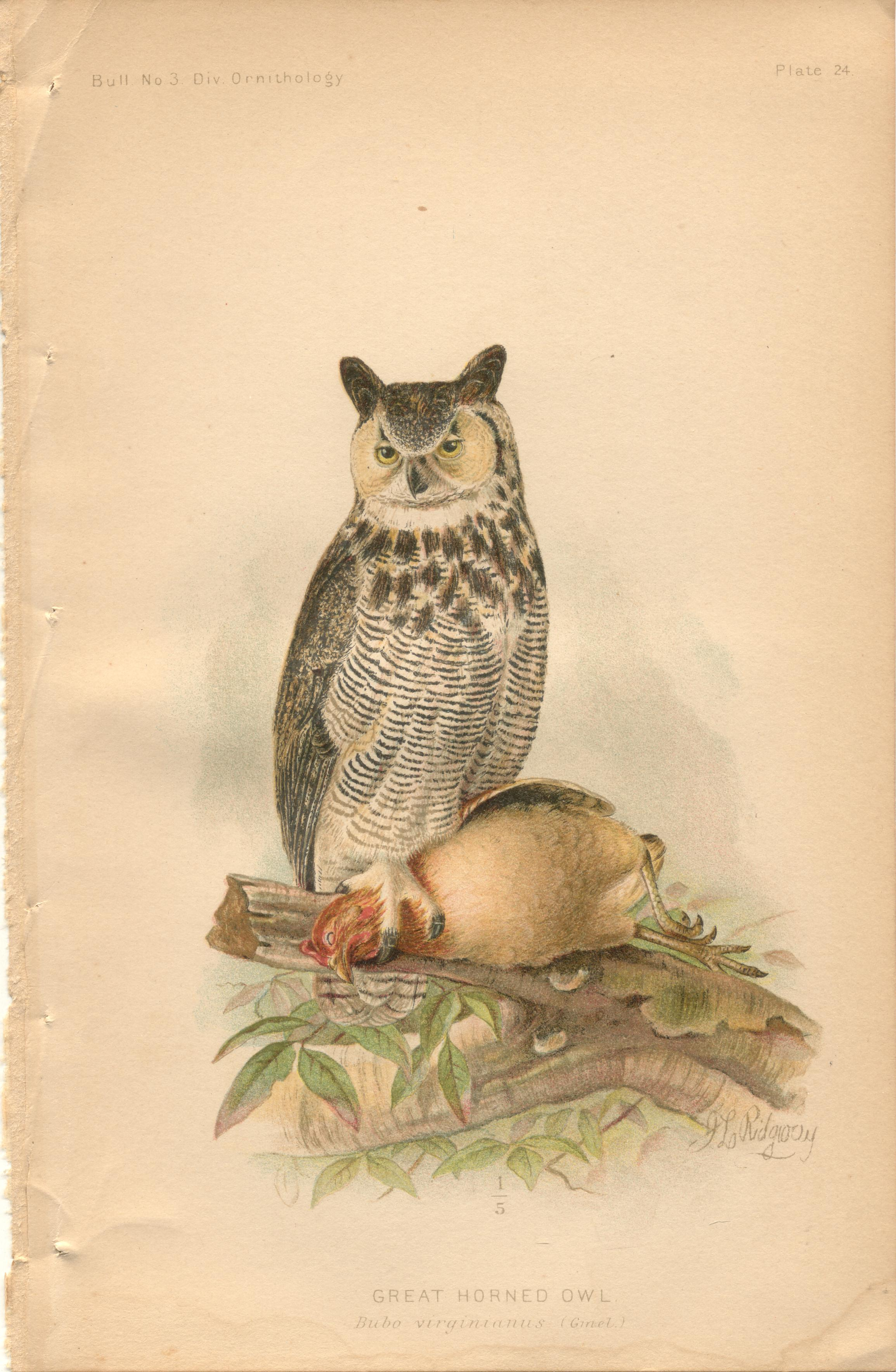 "Image for Great Horned Owl - single original antique chromolithographed plate from ""The Hawks and Owls of the United States in Their Relation to Agriculture"