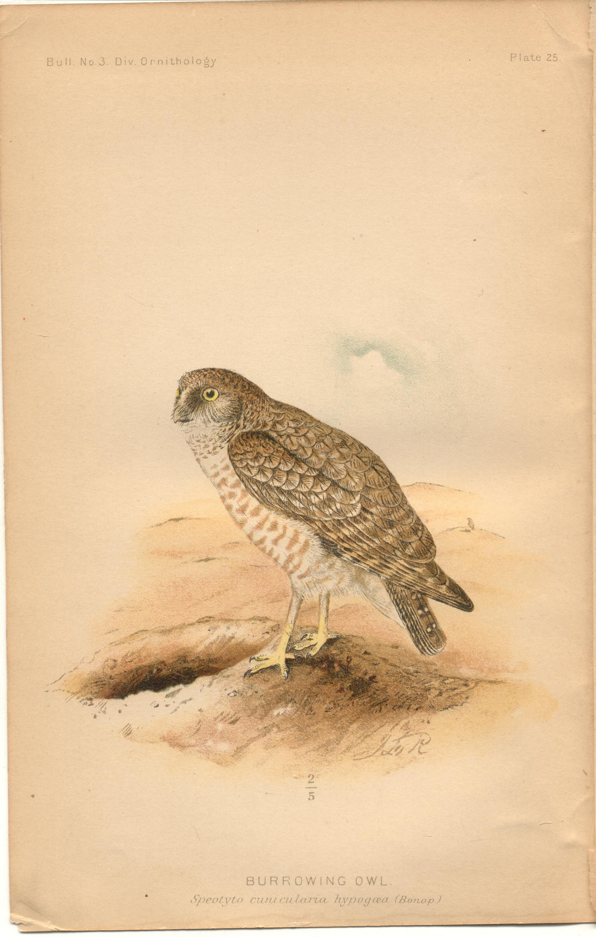 "Image for Burrowing Owl - single original antique chromolithographed plate from ""The Hawks and Owls of the United States in Their Relation to Agriculture"