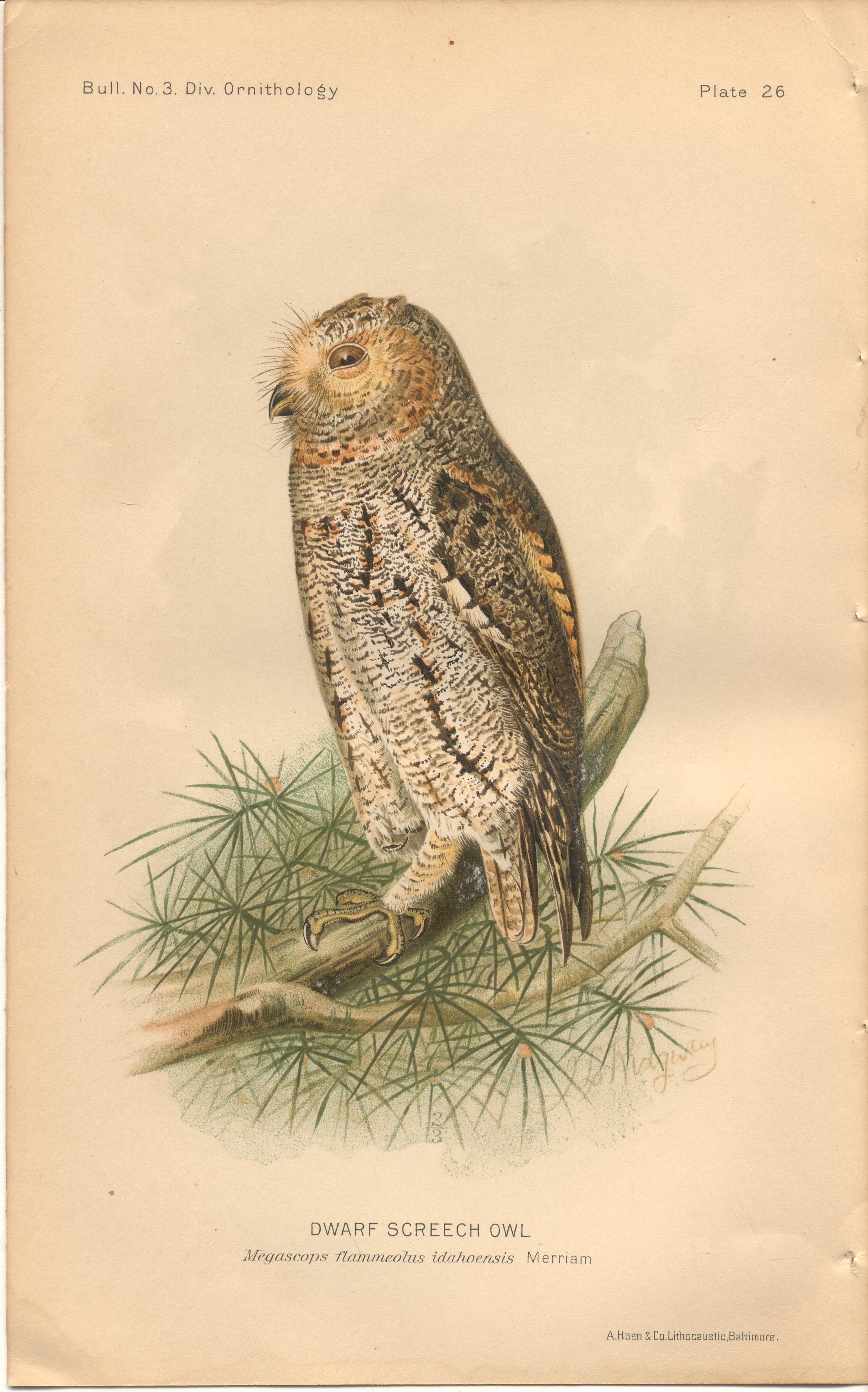 """Image for Dwarf Screech Owl - single original antique chromolithographed plate from """"The Hawks and Owls of the United States in Their Relation to Agriculture"""